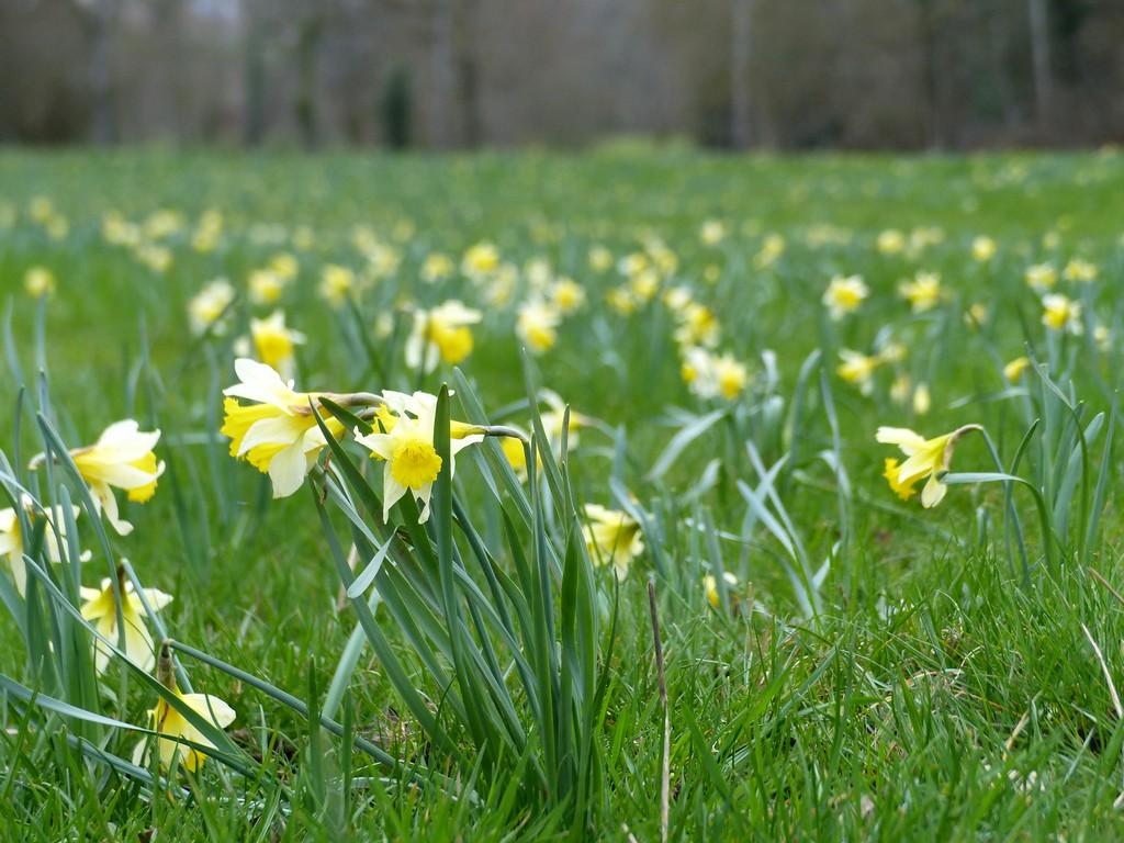 Jonquille des bois - Narcissus pseudonarcissus | Atlas Faune-Flore ...